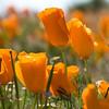 California Poppies 4