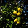 Lemon Tree, Bay Area, California