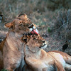 WL1984070112 - Masai Mara NP, Kenya, 7/1984