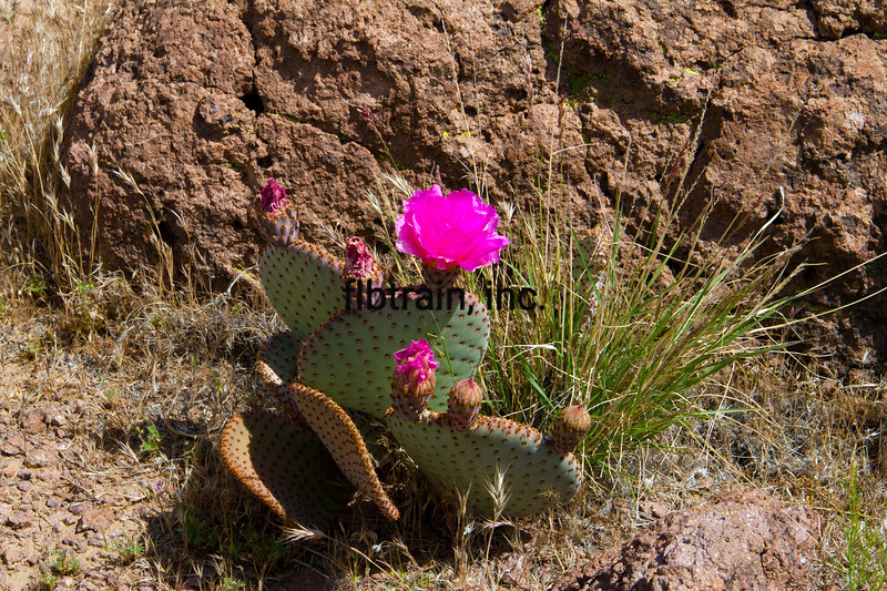 BNSF2012050125 - Desert In Bloom, Kingman, AZ, 5/2012