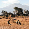 WL1984060094 - Amboseli NP, Kenya, 6/1984
