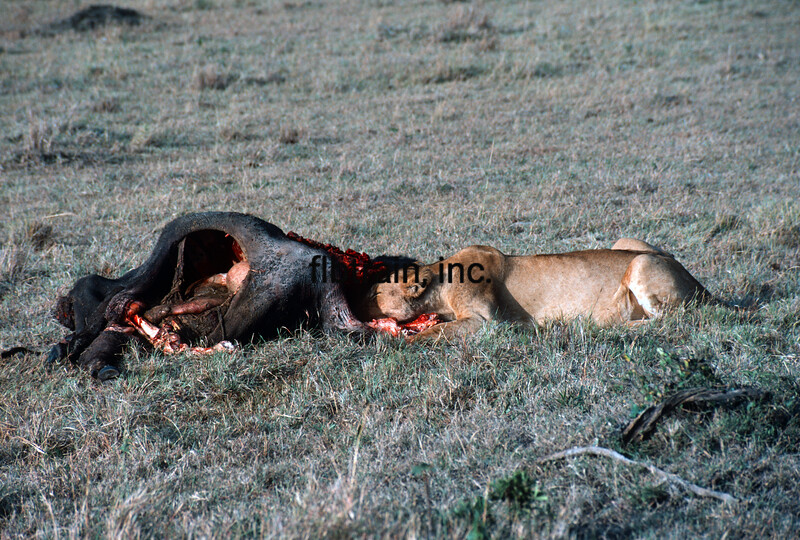 WL1984070155 - Masai Mara NP, Kenya, 7/1984