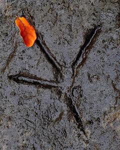 A heron or egret foot print along the St. Sebastian River; Dale Wimbrow Park; Sebastian, Florida