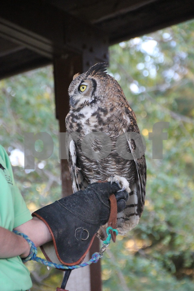 Pictured here is a great horned owl named Stella, who is one of  a few of the raptors  that were part of the raptors education , which was just another one of many activities for families attending the 50th Celebration for Kennedy Park and Trail held on Sunday, October 11, 2015. The event took place at Kennedy Park in Fort Dodge.