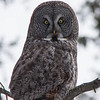 Great Grey Owl at Canmore Nordic Centre