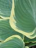 Week 26-Mona-Half leaves - Hostas