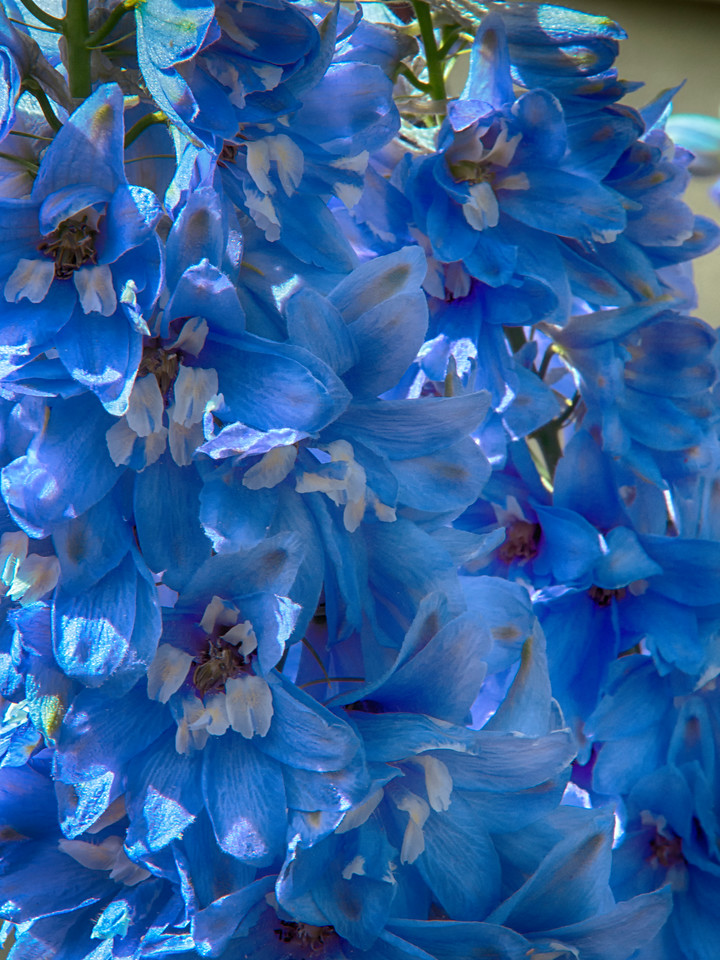 Jude_Delphiniums_Week 32