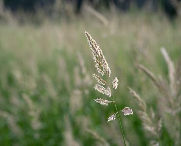 Week 24-Linda Springer-Summer Grasses