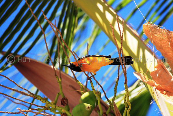 Can someone identify this species?    Orange Oriole?  Thanks Jann!