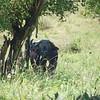 African Buffalo, Büffel, Syncerus caffer
