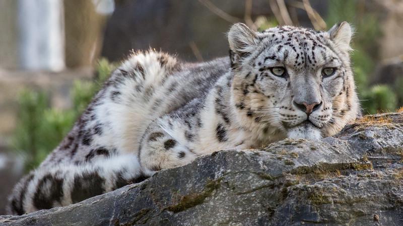 Animals, Big Cat, Leopard, Marwell Zoo, Snow Leopard - 20/03/2012