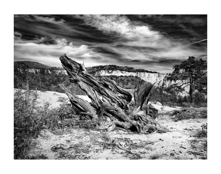 IMGP3454-zion-twisted-pine-oil-hz-bw
