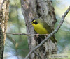 Kentucky warbler<br /> Sorry, this is just a memory jogger, but the Kentucky Warbler was truly beautiful!