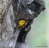 Prothonotary warbler in nesting hole