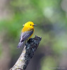 Prothonoary warbler entire