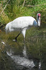 Whooping Crane Reflection... I especially love this photo because there is no BAND on this whooper.