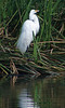 Egret in Breeding Plummage