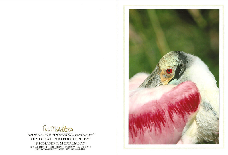 Roseate spoonbill rests. Now this is truly a face only a mother could love, set amongst God,s showiest waterfowl feather display!