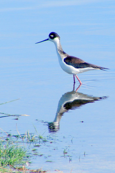 Black and White Stilt reflection.