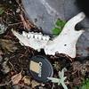 Mountain Goat jawbone, Gloomy Knob AK