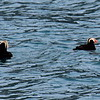Puffins in Glacier Bay, AK