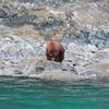 Grizzly bear, Glacier Bay, AK