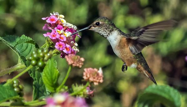 7-19-2014 HUMMING BIRDS
