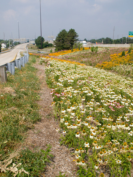 """Wildflowers at  the Meridian Street Interchange.  The 2010 Lilly Global Day of Service focused on the six-mile I-70 corridor running from the airport through downtown Indianapolis. <a href=""""http://www.kibi.org/"""">Keep Indianapolis Beautiful, Inc.</a> (KIBI) a local nonprofit with a 30-year track record of successful beautification partnerships in Indianapolis, envisioned something much grander than the usual highway ramps. Bringing together the city of Indianapolis, the Indiana Department of Transportation, community leaders, neighborhood groups, and the private sector, KIBI coordinated a master planning process for the corridor with the landscape architecture firm <a href=""""http://www.bdmd.com/"""">Browning Day Mullins Deerdorf</a>. The project culminated in the 2010 Eli Lilly Day of Service, where over 8,000 Lilly employees added low maintenance vegetation, planted trees, and positioned totem poles and lotus leaf sculptures, transforming the I-70 corridor. The $1 million TE grant supporting the project was matched by an additional $1 million from Eli Lilly in addition to the volunteer labor, a major private investment on behalf of public infrastructure.  Learn more about this extraordinary project at  http://www.agreenerwelcome.org/."""