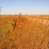 By late fall, native grasses are the most visible component of roadside plantings. Big bluestem is among the species shown in this western Iowa planting.<br /> <br /> Iowa's Integrated Roadside Vegetation Management (IRVM) Program Office has been awarded FHWA funding to purchase native prairie seed for use in county rights-of-way since 1998. Approximately 1000 roadside acres have been planted each year. These plantings are well-adapted for use on roadsides, providing weed and erosion control, storm water management, and habitat corridors. The IRVM Program Office is located at the University of Northern Iowa's Tallgrass Prairie Center.