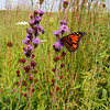 Native roadsides provide important habitat for butterflies, bees and other pollinators, especially in agricultural states where row crops have replaced most natural areas. Rough blazingstar, shown, is a butterfly magnet.<br /> <br /> Iowa's Integrated Roadside Vegetation Management (IRVM) Program Office has been awarded FHWA funding to purchase native prairie seed for use in county rights-of-way since 1998. Approximately 1000 roadside acres have been planted each year. These plantings are well-adapted for use on roadsides, providing weed and erosion control, storm water management, and habitat corridors. The IRVM Program Office is located at the University of Northern Iowa's Tallgrass Prairie Center.