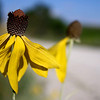 Though the vast majority of Iowa's native prairie is long gone, many Iowans are familiar with Yellow Coneflower, a native wildflower. That's because this summer bloomer is a common sight along roadsides planted to prairie.<br /> <br /> Iowa's Integrated Roadside Vegetation Management (IRVM) Program Office has been awarded FHWA funding to purchase native prairie seed for use in county rights-of-way since 1998. Approximately 1000 roadside acres have been planted each year. These plantings are well-adapted for use on roadsides, providing weed and erosion control, storm water management, and habitat corridors. The IRVM Program Office is located at the University of Northern Iowa's Tallgrass Prairie Center.