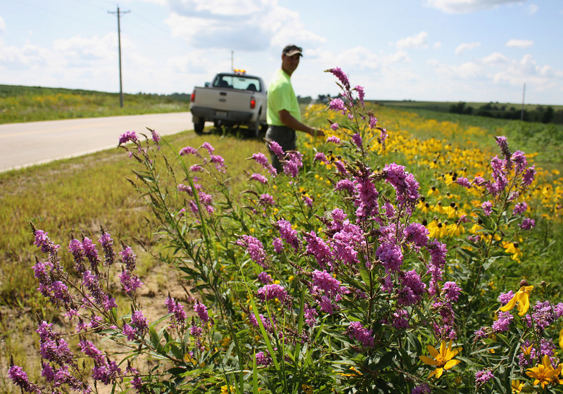 Ben Hoskinson inspects a planting along a road in south-central Iowa. Showy Tick Trefoil (foreground) and Yellow Coneflower are among the flowers blooming. Ben manages the roadsides in Mahaska County, which uses TA-funded native seed in its rights-of-way.<br /> <br /> Iowa's Integrated Roadside Vegetation Management (IRVM) Program Office has been awarded FHWA funding to purchase native prairie seed for use in county rights-of-way since 1998. Approximately 1000 roadside acres have been planted each year. These plantings are well-adapted for use on roadsides, providing weed and erosion control, storm water management, and habitat corridors. The IRVM Program Office is located at the University of Northern Iowa's Tallgrass Prairie Center.