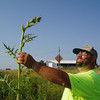 Harold Pollmeier, Henry County Roadside Manager, is pictured in a TA-funded planting beside one of the tallgrass prairie's most conspicuous plants. Compass Plant can reach heights of 10 ft. and it topped with yellow flowers in mid- to late-summer.<br /> <br /> Iowa's Integrated Roadside Vegetation Management (IRVM) Program Office has been awarded FHWA funding to purchase native prairie seed for use in county rights-of-way since 1998. Approximately 1000 roadside acres have been planted each year. These plantings are well-adapted for use on roadsides, providing weed and erosion control, storm water management, and habitat corridors. The IRVM Program Office is located at the University of Northern Iowa's Tallgrass Prairie Center.