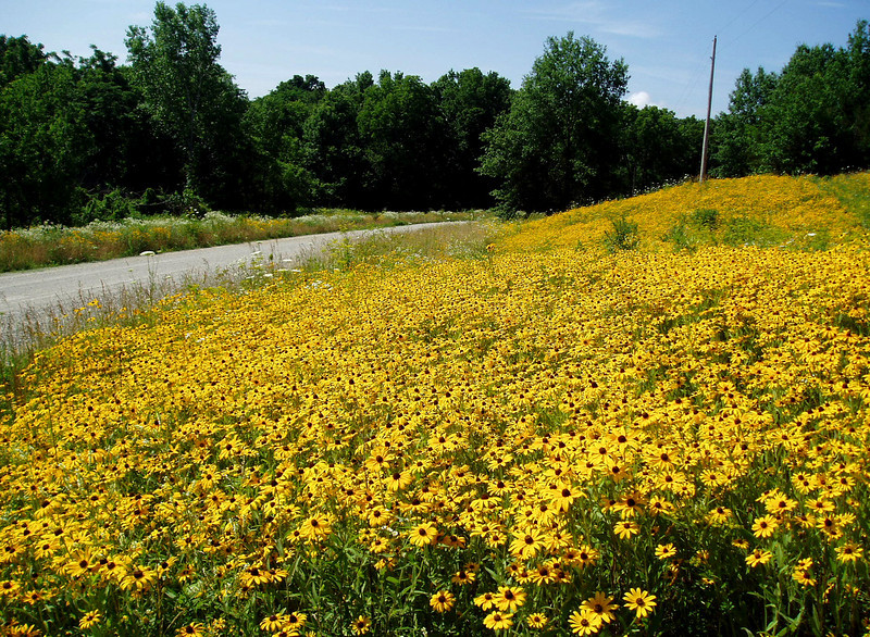 These cheerful yellow flowers are a familiar site along Iowa roadways recently planted to native seed. Quick to establish, Black-eyed Susan becomes less dominant as more permanent species mature.<br /> <br /> Iowa's Integrated Roadside Vegetation Management (IRVM) Program Office has been awarded FHWA funding to purchase native prairie seed for use in county rights-of-way since 1998. Approximately 1000 roadside acres have been planted each year. These plantings are well-adapted for use on roadsides, providing weed and erosion control, storm water management, and habitat corridors. The IRVM Program Office is located at the University of Northern Iowa's Tallgrass Prairie Center.