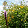 Seed mixes purchased with federal TA funds are diverse, containing 20-40 native species. In Iowa, this is a sustainable alternative to the non-native, cool-season grass typically found on county rights-of-way.<br /> <br /> Iowa's Integrated Roadside Vegetation Management (IRVM) Program Office has been awarded FHWA funding to purchase native prairie seed for use in county rights-of-way since 1998. Approximately 1000 roadside acres have been planted each year. These plantings are well-adapted for use on roadsides, providing weed and erosion control, storm water management, and habitat corridors. The IRVM Program Office is located at the University of Northern Iowa's Tallgrass Prairie Center.