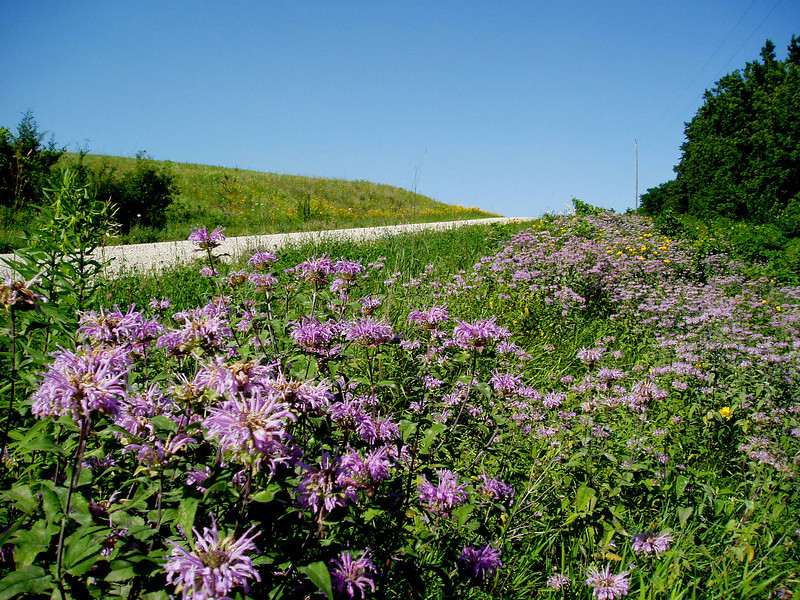 Wild Bergmot, a native mint, dominates this mid-summer planting along a rural Audubon County road. This western Iowa county has received TA-funded seed for right-of-way plantings each year since 1998.<br /> <br /> Iowa's Integrated Roadside Vegetation Management (IRVM) Program Office has been awarded FHWA funding to purchase native prairie seed for use in county rights-of-way since 1998. Approximately 1000 roadside acres have been planted each year. These plantings are well-adapted for use on roadsides, providing weed and erosion control, storm water management, and habitat corridors. The IRVM Program Office is located at the University of Northern Iowa's Tallgrass Prairie Center.