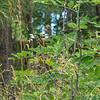 Widow Skimmer at Goldwater Lake, 7/24/19
