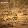 A coyote (Canis latrans) Anza-Borrego Desert State Park, California.