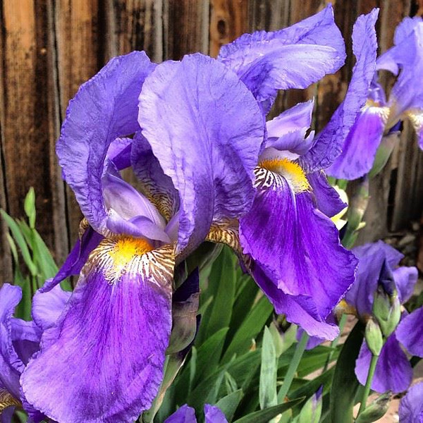 Irises in the backyard