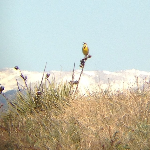 Meadowlark singing in the back open space