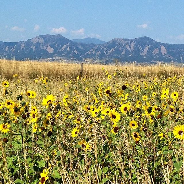 Flatirons and sunflowers in the back open space trail (East Boulder Trail)
