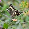 Swallowtail, Schwalbenschwanz
