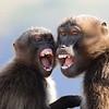Gelada Baboon, Blutbrust Pavian ♀