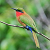 Red-throated Bee-eater, Rotkehlspint