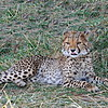 Cheetah, Gepard