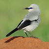Stresemann's Bush-crow, Zavattarivogel
