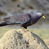 African Olive Pigeon, Oliventaube ♂