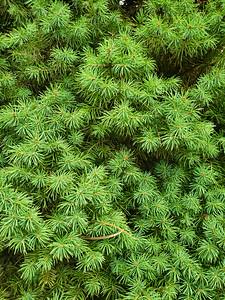 Close up photo of a pine bush with sharp needles