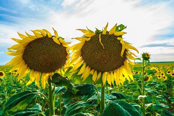 8.18.16 Sunflowers