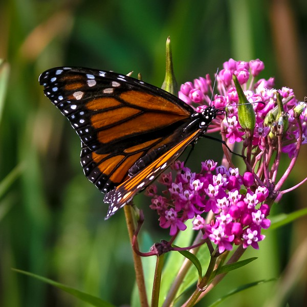 Butterfly Photo By Chris Frank